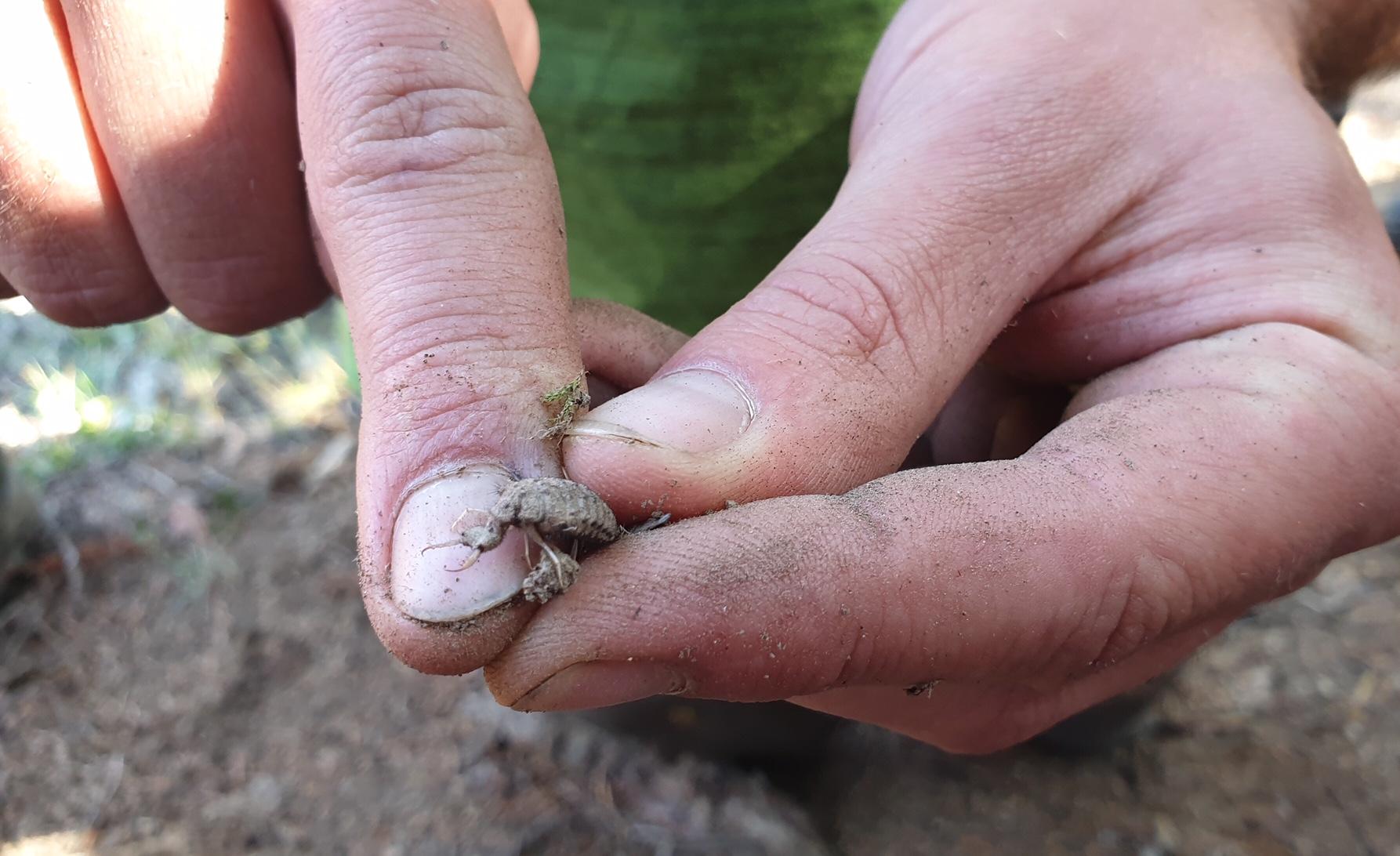 Ein Ameisenlöwe