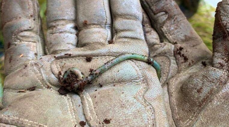 Der geheimnisvolle grüne Regenwurm