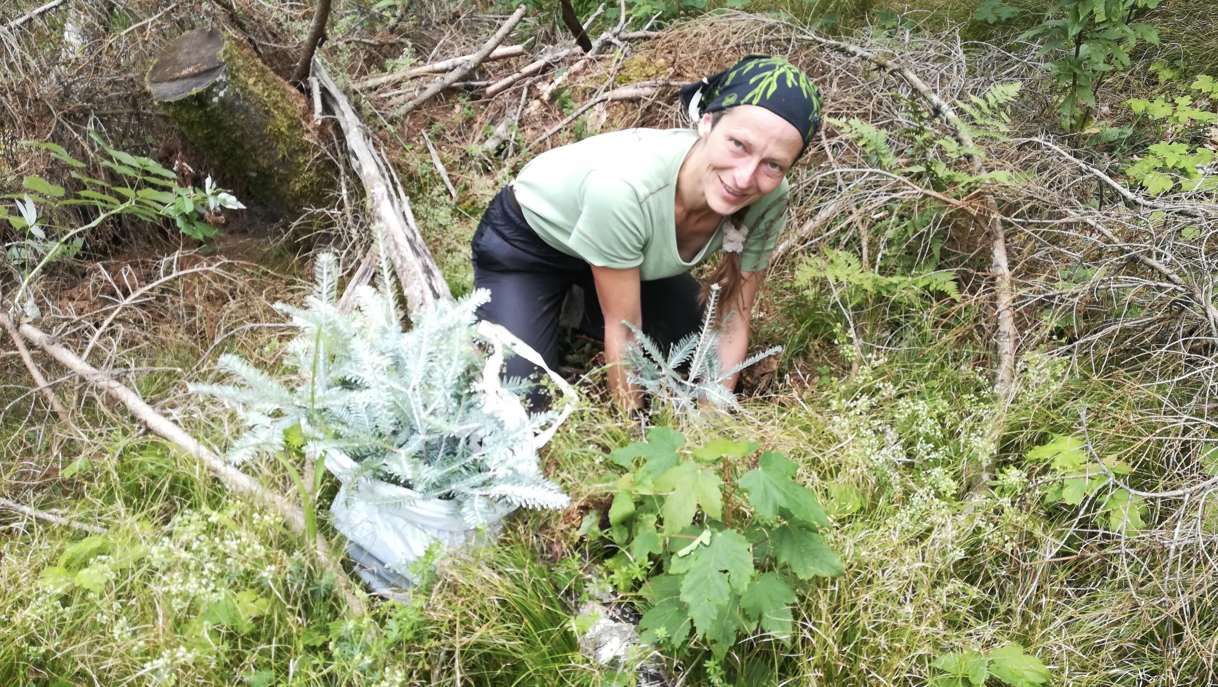 Weißtannenpflanzen im Walchenseegebiet