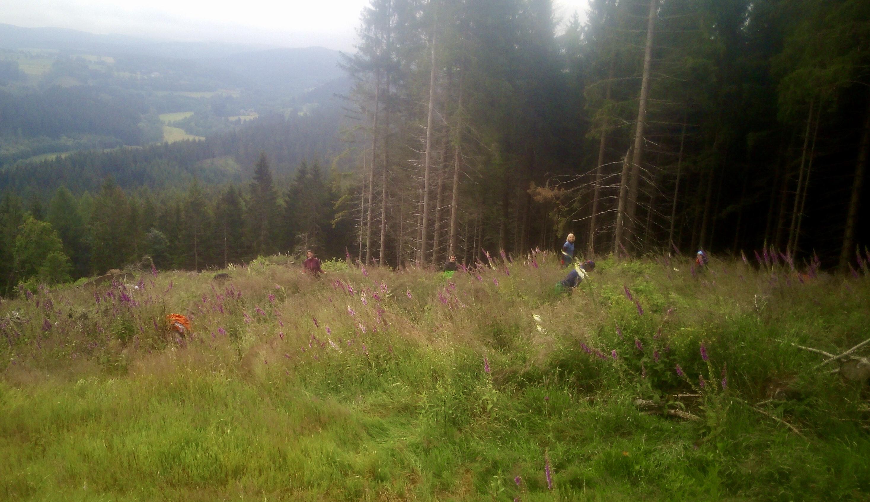 Pflege auf letztjährige Pflanzfläche in Bärenfels