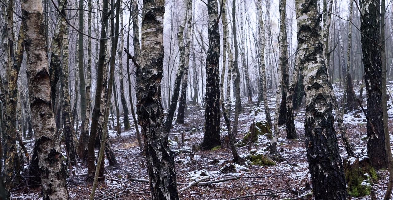 Im Moorbirkenwald