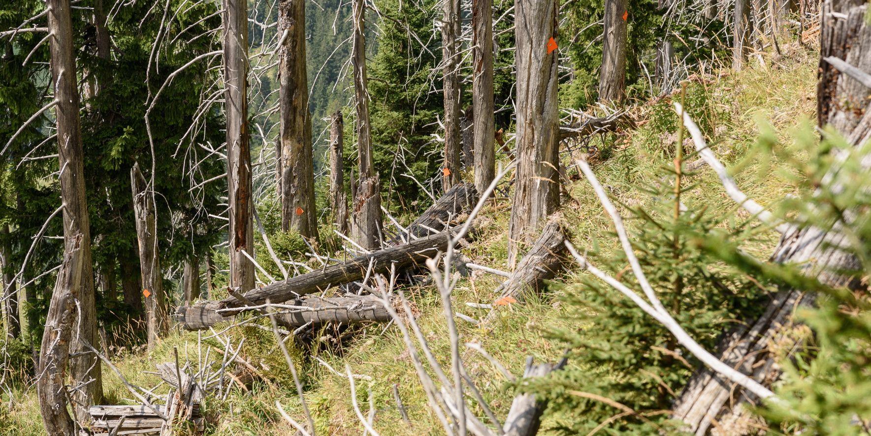 Grasfilz und Baumleichen statt Schutzwald