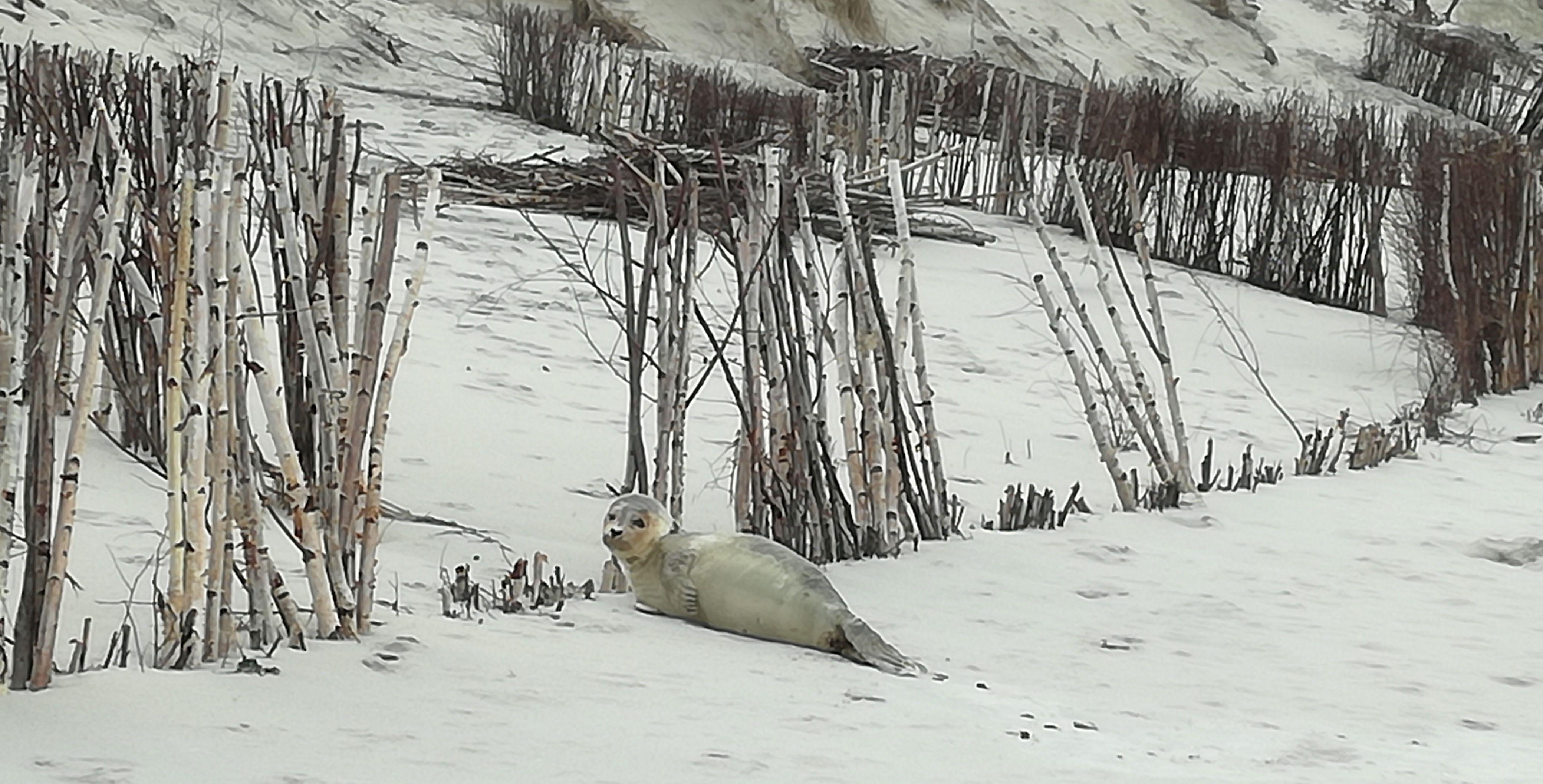 Typisches Säugetier der Küstenwälder: Seehund