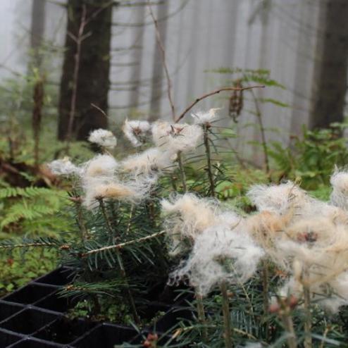 Junge Tannen sind mit Schafswolle am Terminaltrieb geschützt.