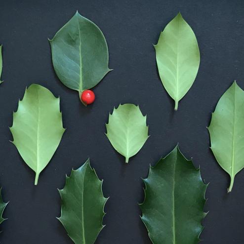 Morphologisches von den Blättern der Stechpalme