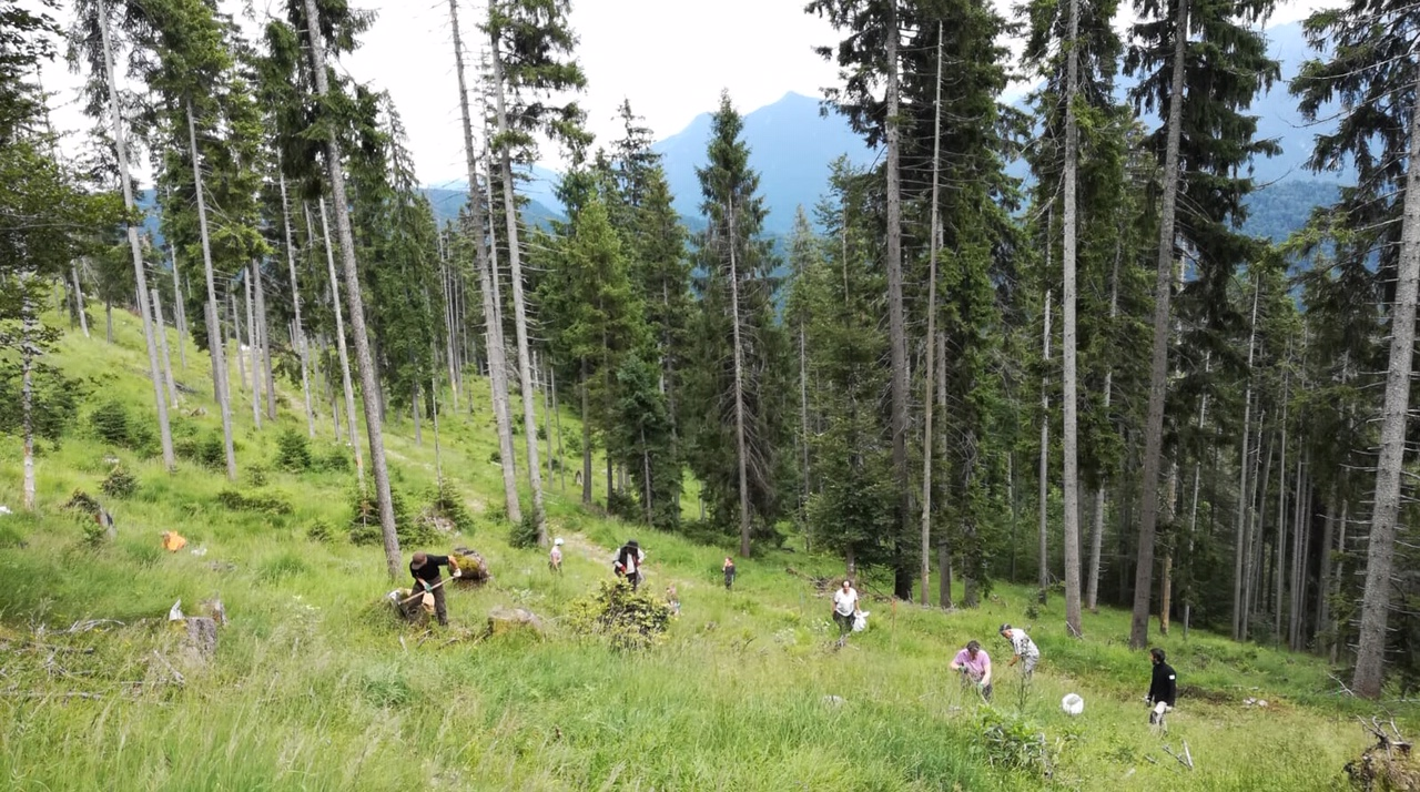 Lärchen für den sich auflösenden Bergwald