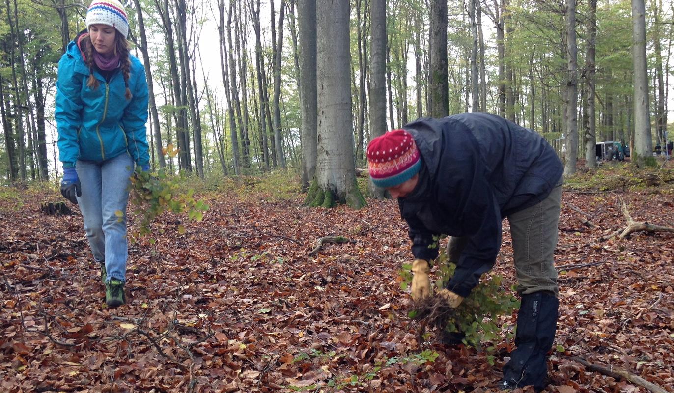 Rotbuchenwildlinge ernten im Pfälzer Wald